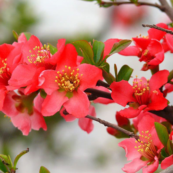 海棠花观光