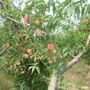 广安游玩桃子采摘园